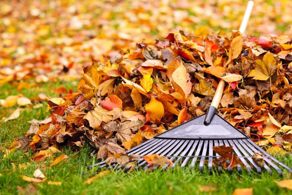 Racking autumn leaves